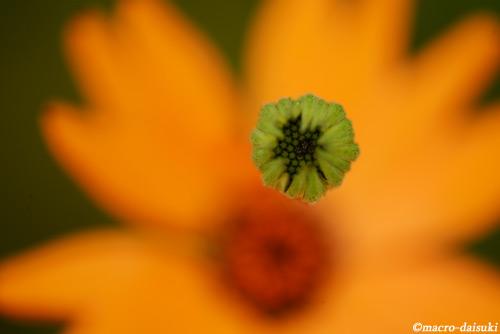 140315_kyoto_461_ディモルフォセカ