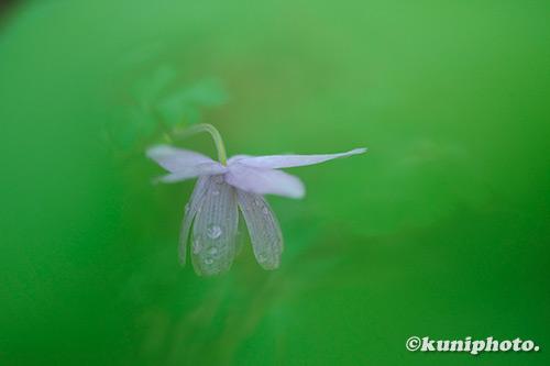 191210_konohana_297_XH1_フウリンオダマキ