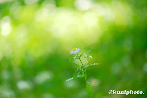 200608_banpaku_097_XH1_ヒメジョオン