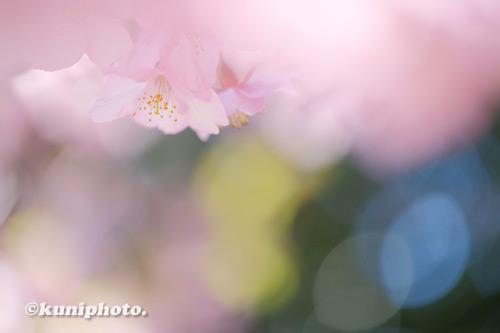210303_tsurumi_189_XH1_河津桜